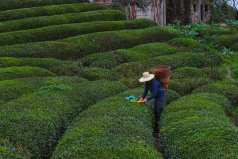 A person picking tea leaves in a field